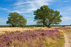 Heidelandschaft mit Eichen und Weg in der Lüneburger Heide zur Zeit der Heideblüte