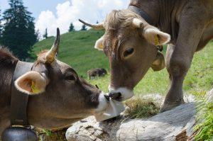 Allgäuer Kühe auf der Weide mit Salzleckstein