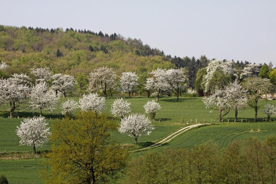 Frühlingslandschaft mit Kirschbäumen im April, Hagen a.T.W., Osnabrücker Land