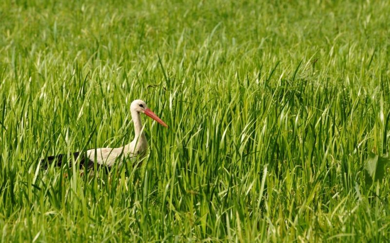 Ein Storch auf Nahrungssuche in den Feuchtwiesen im Spreewald