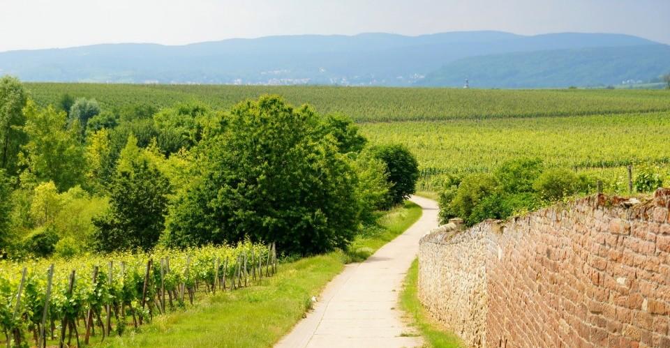Weinlandschaft bei Herxheim in der Pfalz mit Blick Richtung Neustadt und Pfälzerwald