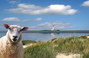Schafe am Watt und auf den Deichen i