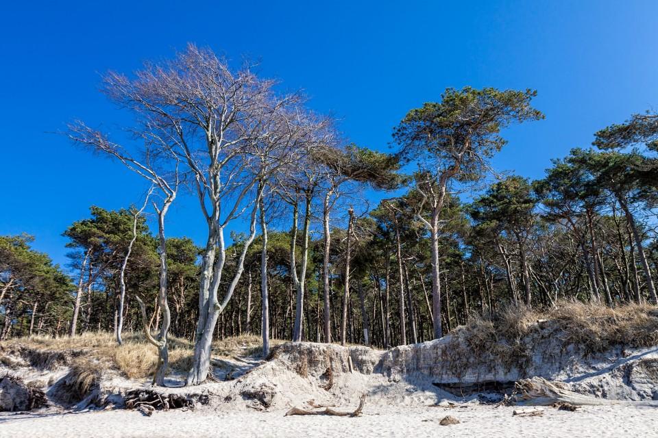 Küstenwald am Weststrand an der Ostsee.