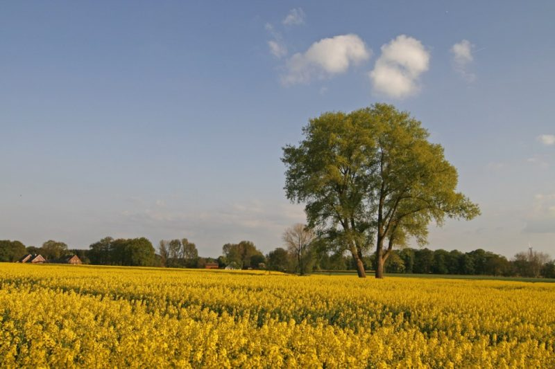 Baum im Rapsfeld im Osnabrücker Land