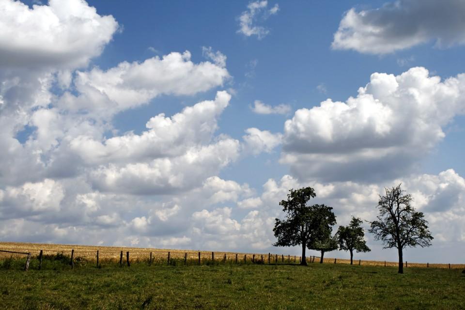 Weizenfeld im Sommer im Münsterland