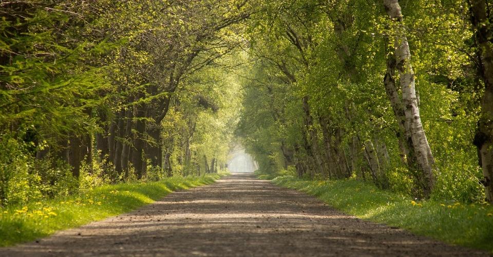 Birkenallee im Ammerland im Frühling