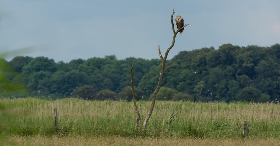 Seeadler im Naturpark Nossentiner - Schwinzer Heide