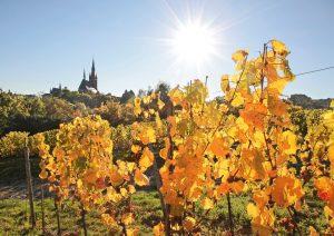Weinberg im Herbst bei Eltville