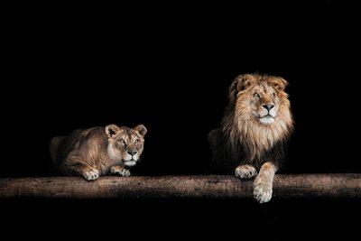 Löwe und Löwin