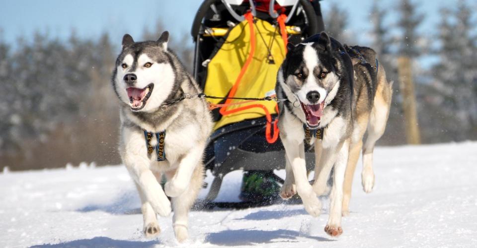 Schlittenhund Doppelgespann