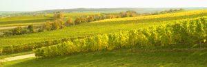 Weinberge bei Alzey im Frühherbst