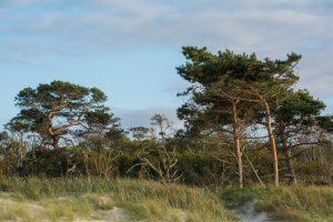 Darßer Weststrand mit Windflüchtern, Mecklenburger Ostseebäder