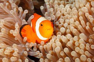 Clownfisch, Tropen-Aquarium Hamburg