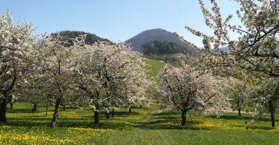 Blühende Obstbaumwiesen bei Beuren