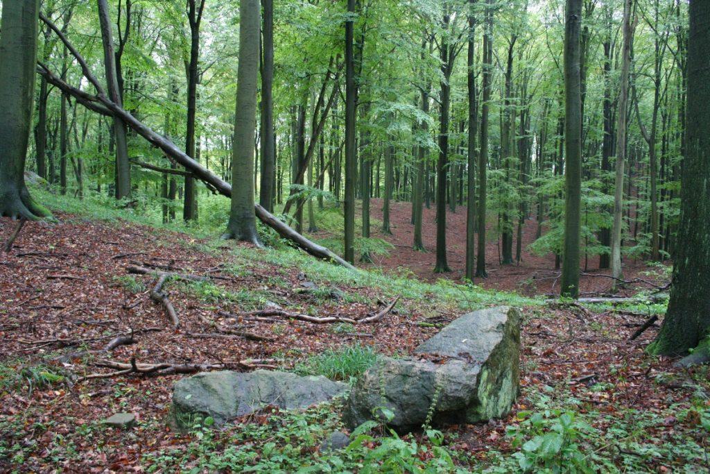 Der Buchwald Grumsin in der Schorfheide