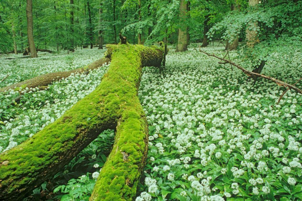 Bärlauchteppich im Nationalpark Hainich