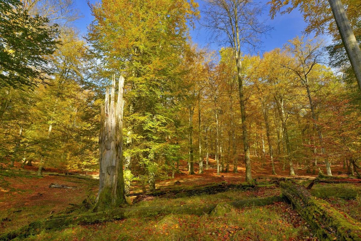 Die alten Buchenwälder von Serrahn