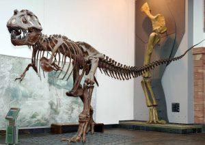 Tyrannosaurus Rex im Senckenberg Museum