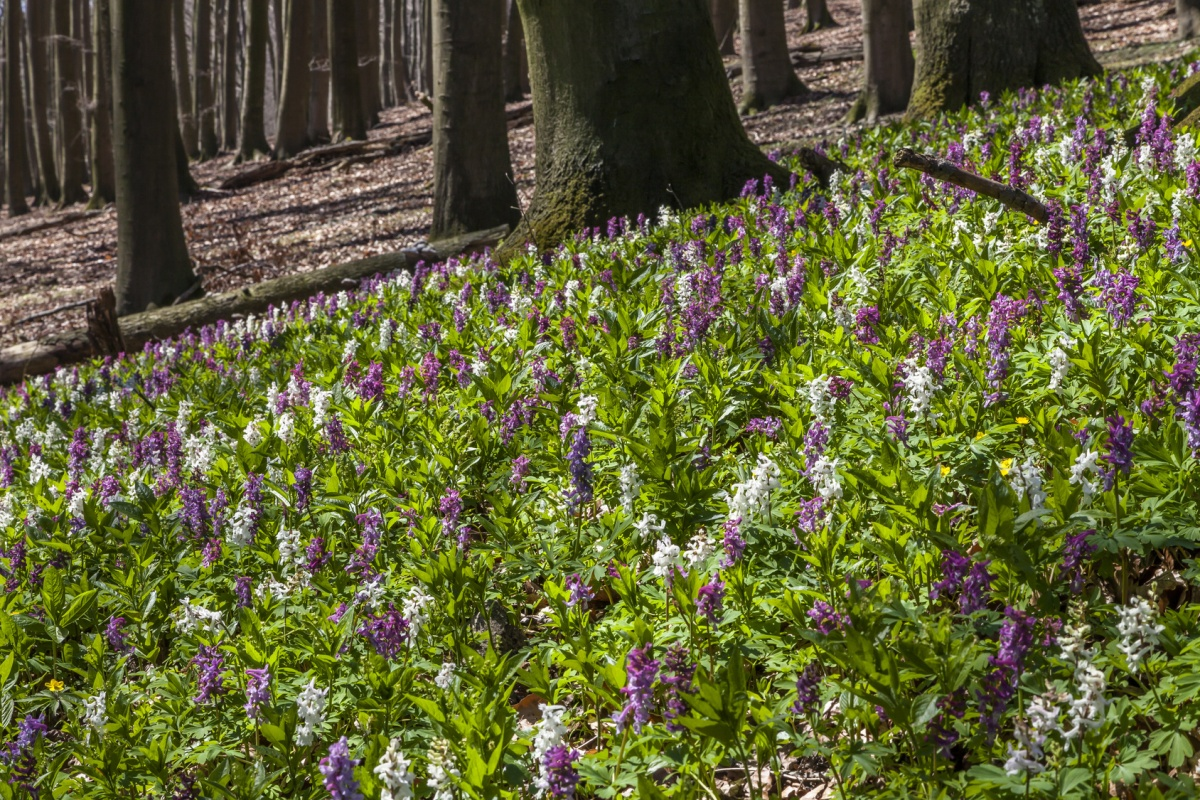 Lerchenspornblüte im Naturschutzgebiet Freeden - Hermannsweg