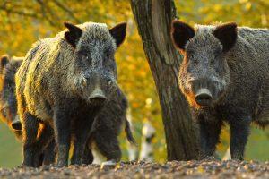 Schwein gehabt - die Feuchtwanger Schwarzwildtage