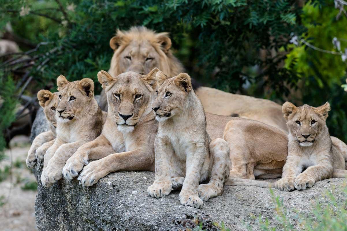 Löwen im Zoo Basel