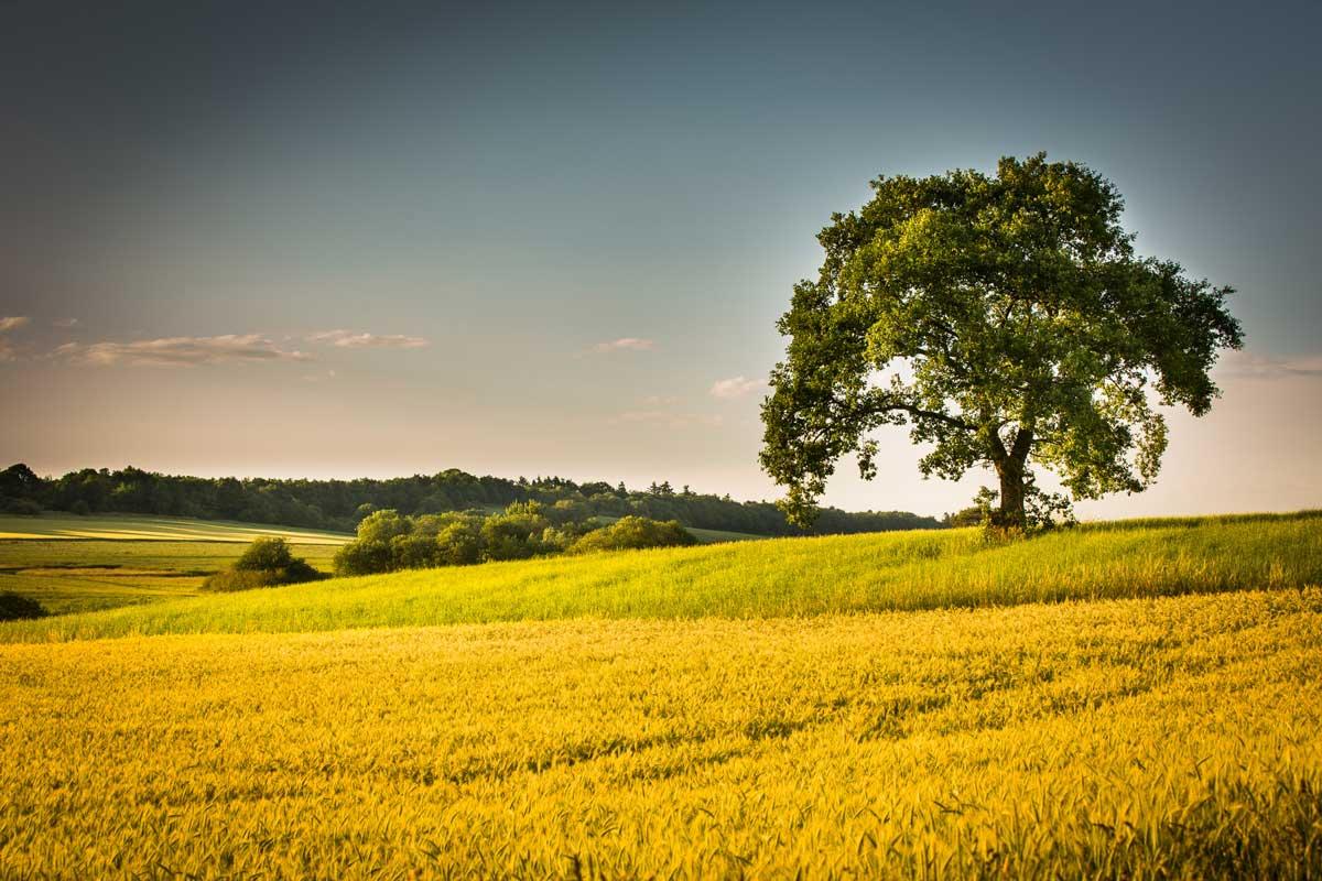 Getreidefeld mit Baum im Hunsrück - Saar-Hunsrück-Steig