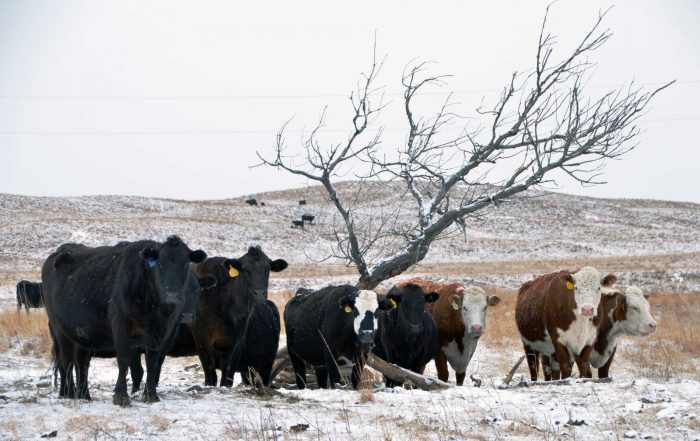 Rinder auf der Morgan Ranch