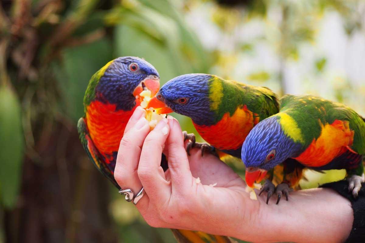 Papageien, Raffeiner Orchideenwelt