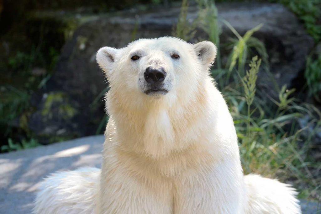 Eisbär Tonja im Tierpark Berlin - Zoos Deutschland