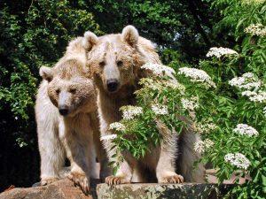 Zoo Münster, Syrische Braunbären - Zoos Deutschland