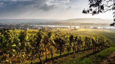 Rheingau Panorama - Rheingauer Rieslingpfad