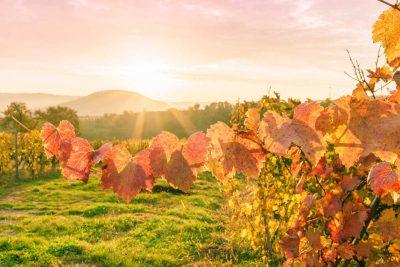 Herbstliche Weinberge in Hohenlohe - Der Württembergische Weinwanderweg