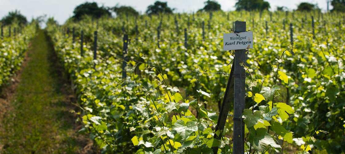 Weinberg auf dem Weingut Karl Petgen
