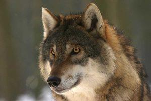 Wolf - Ausflugsziele für die ganze Familie