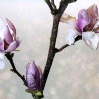 garten magnolie blühen