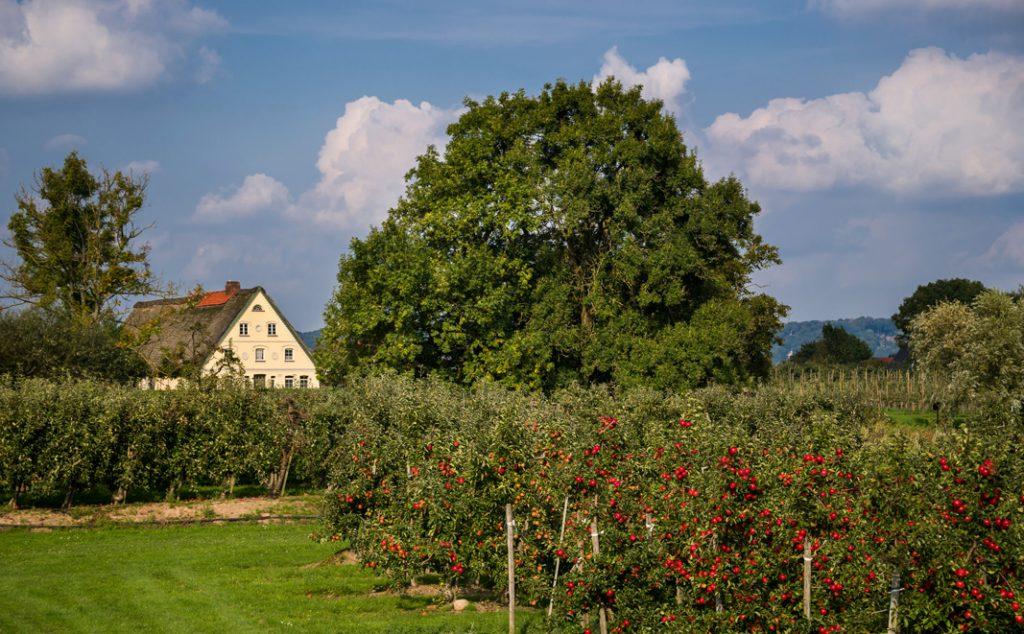 Reife Äpfel im Alten Land - Reisetipps für den Spätsommer