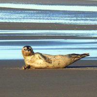 Seehund Strand