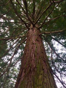 Mammutbaum - Der Schwäbische Wald