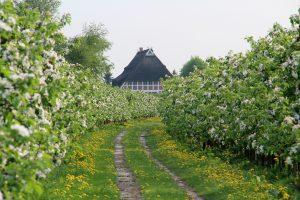 Apfelbaumreihen im Alten Land