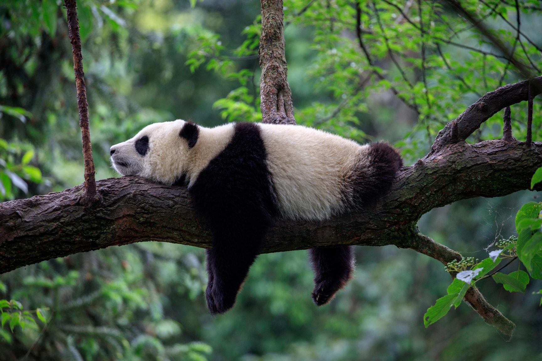 Pandabär in freier Wildbahn auf einem Ast liegend