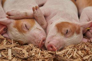 Bauernhof Schweine