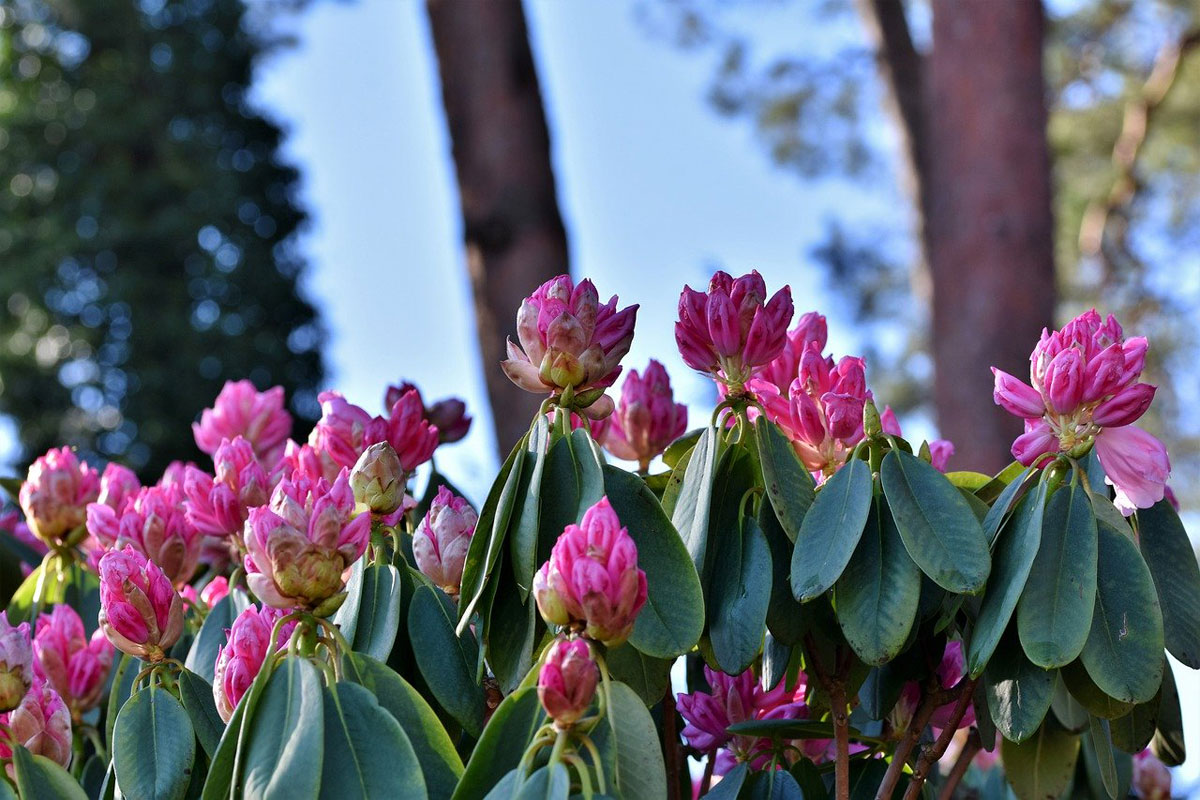Rhododendron Park