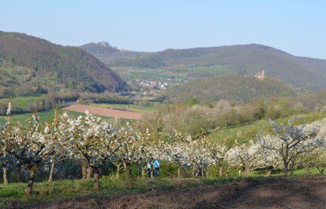 Wanderpärchen in Obstbauversuchsanlage vor Zweiburgenblick