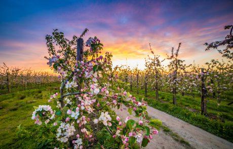 Obstblüte im Alten Land - Obstroute Altes Land
