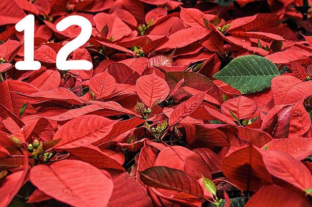 Rot blühende Weihnachststerne