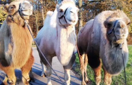 Kamele auf Tour