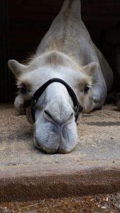 Kamel nah