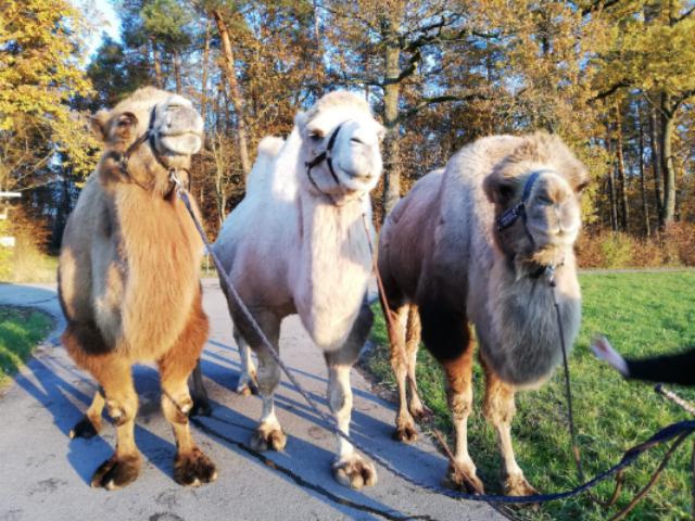 Kamele auf der Kameltour, Kamelhof Weil im Schönbuch