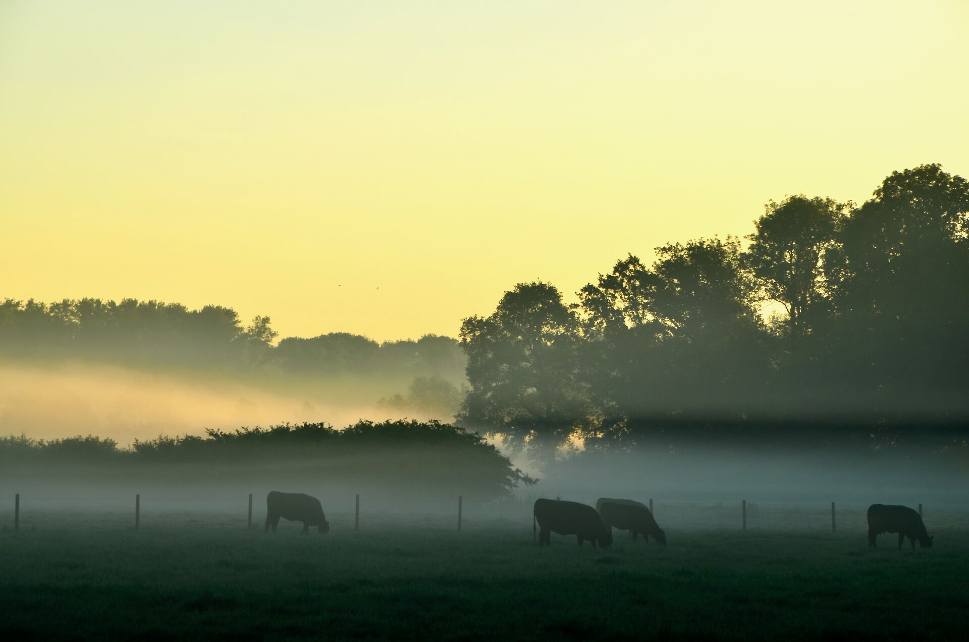 Rinder im Morgennebel, Münsterland