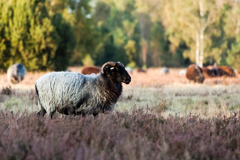 Heidschnucke in der Lüneburger Heide - Wanderwege der Lüneburger Heide entdecken